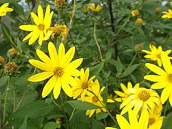 菊芋の花、菊のような花が咲きます